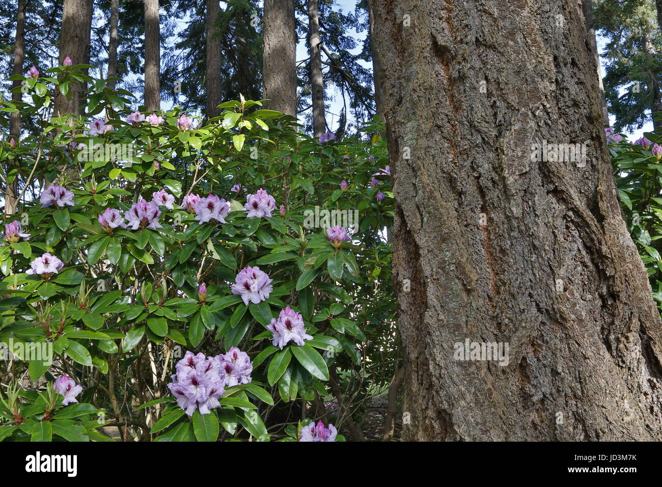 Rhododendron, rhododendrons in the forest of Pacific Northwest with fir tree. - Stock Image