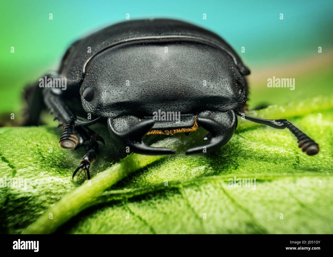 Young stag beetle (Lucanus cervus) on green leaf Stock Photo