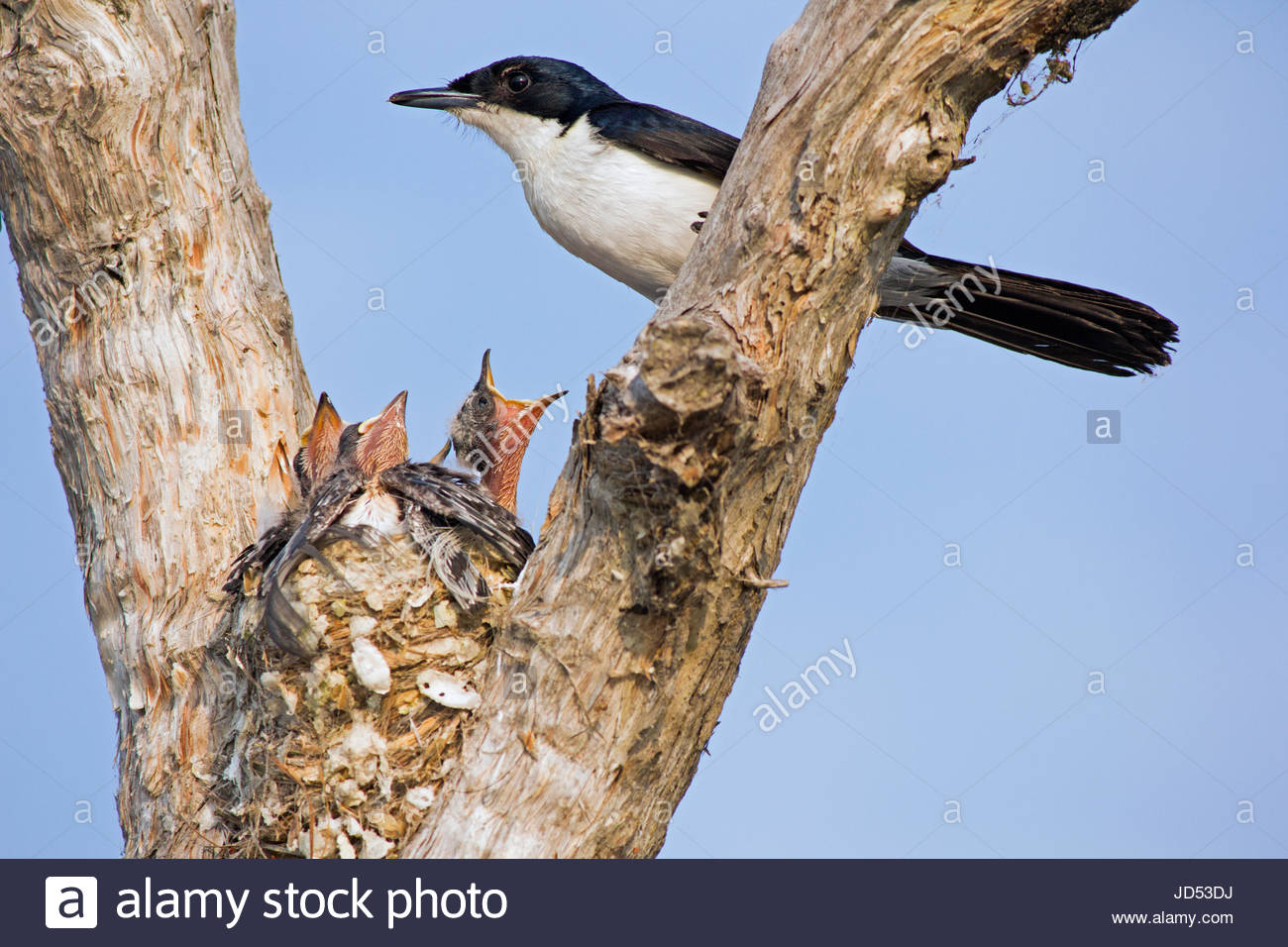 A Restless Flycatcher at it's nest with nestlings calling for food. - Stock Image