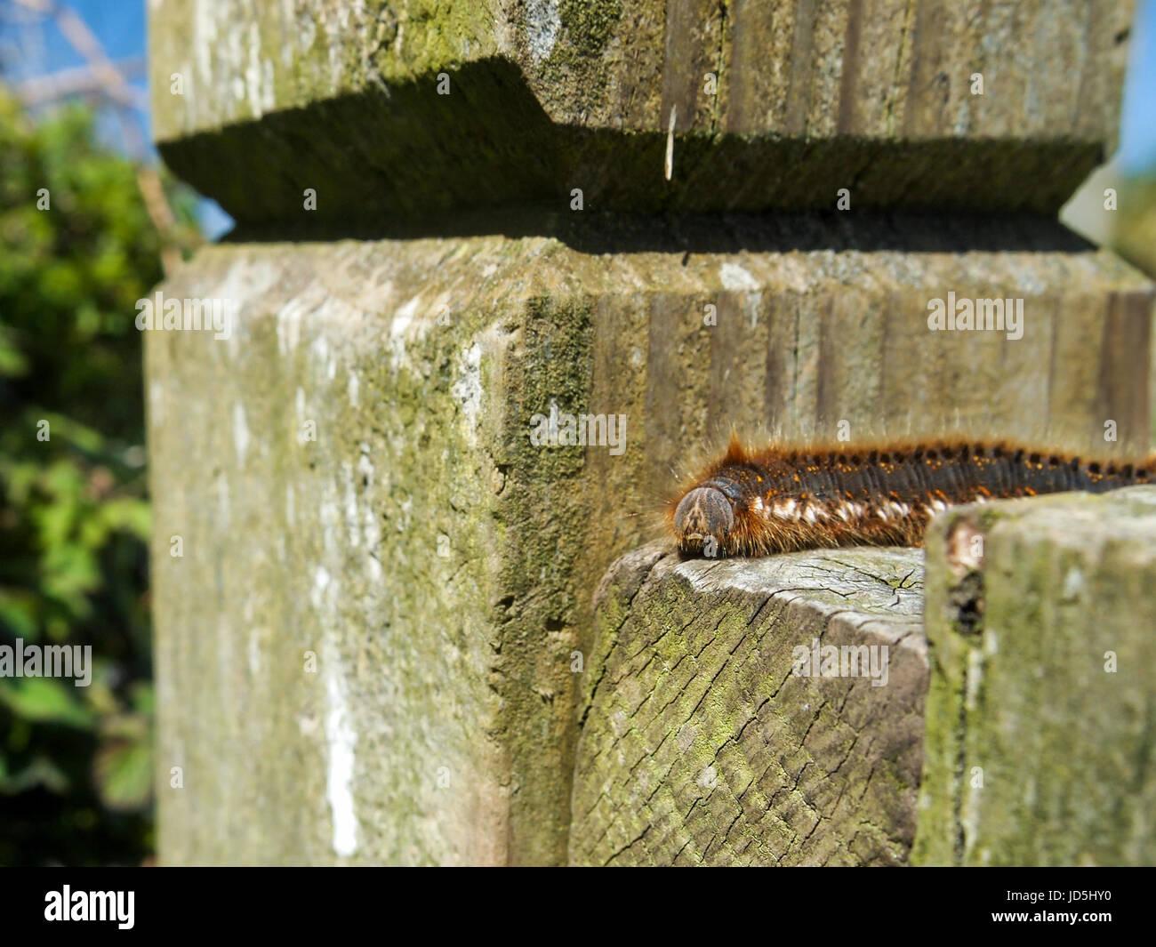 A caterpillar crawls across a fence post near Treen, Cornwall, England. - Stock Image