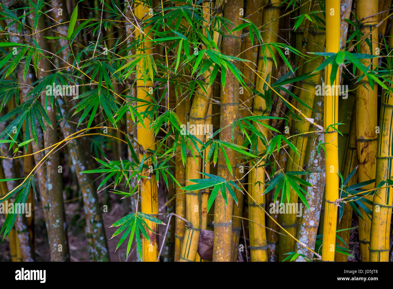 Sustainable eco-friendly background of thicket of weathered bamboo trees full frame horizontal - Stock Image