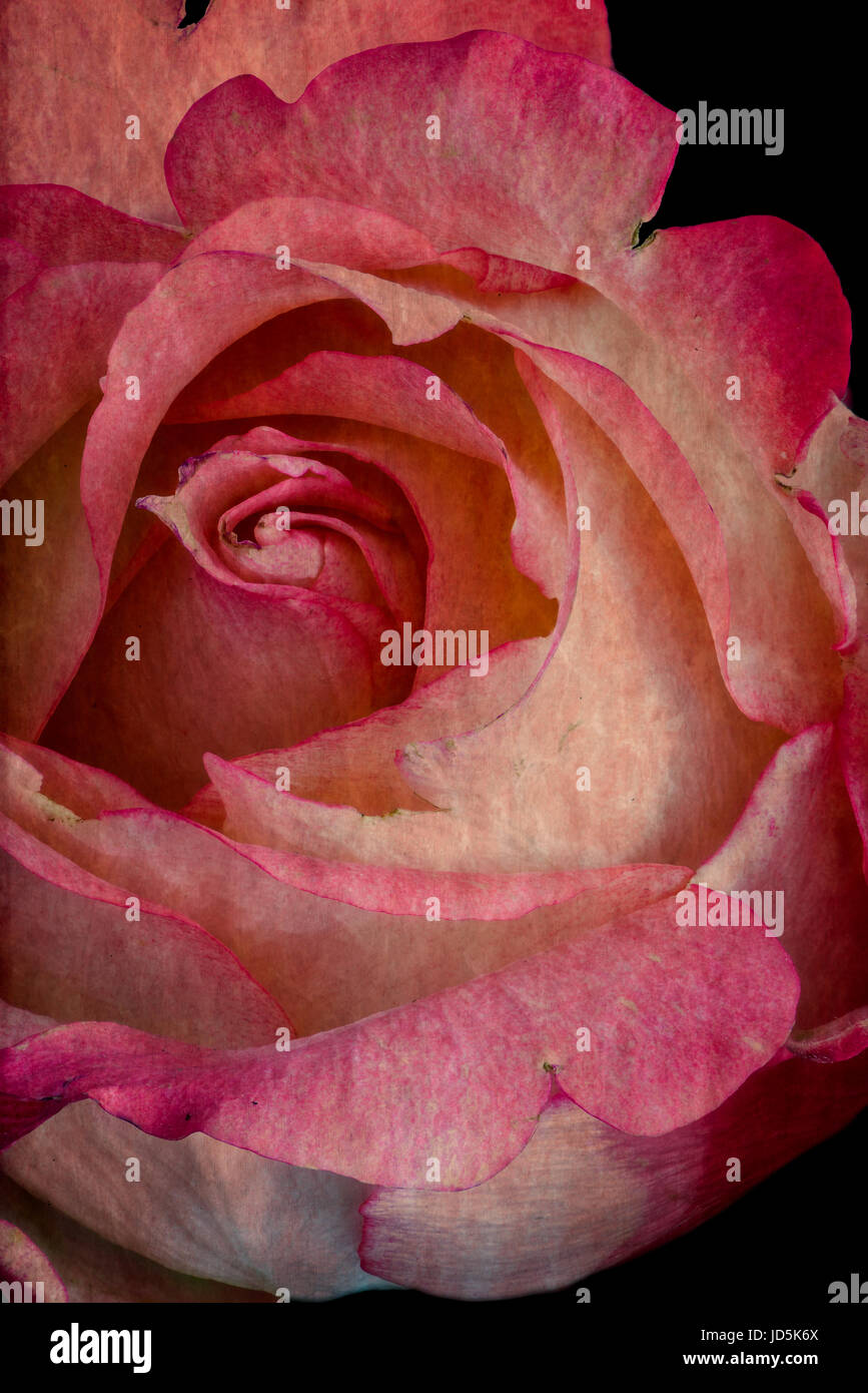 Color still life floral macro portrait of a single isolated pink white flowering rose blossom on black background - Stock Image