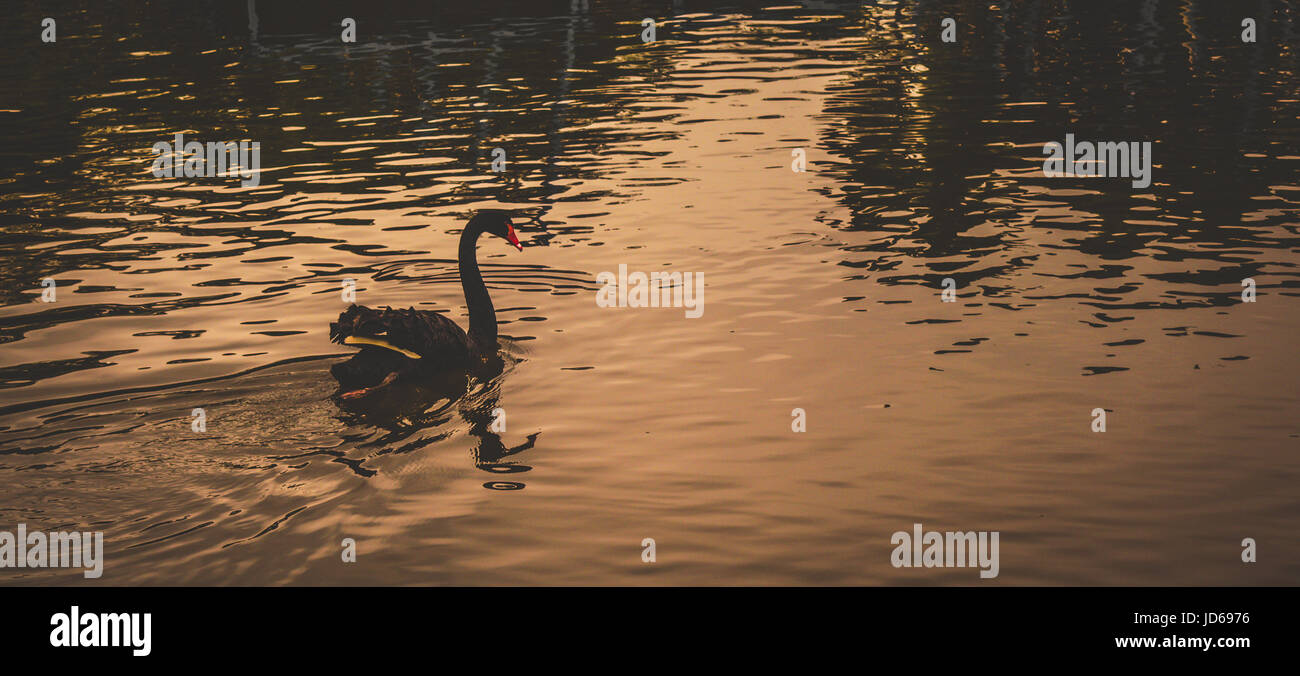 Black Swan at Golden Hour Stock Photo