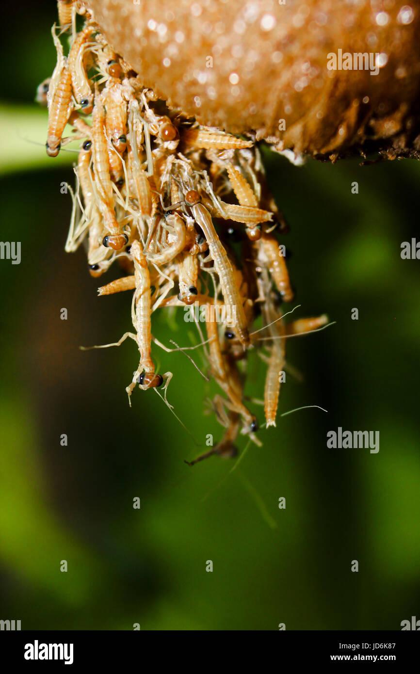 Baby Praying Mantis Being Born Stock Photo Alamy