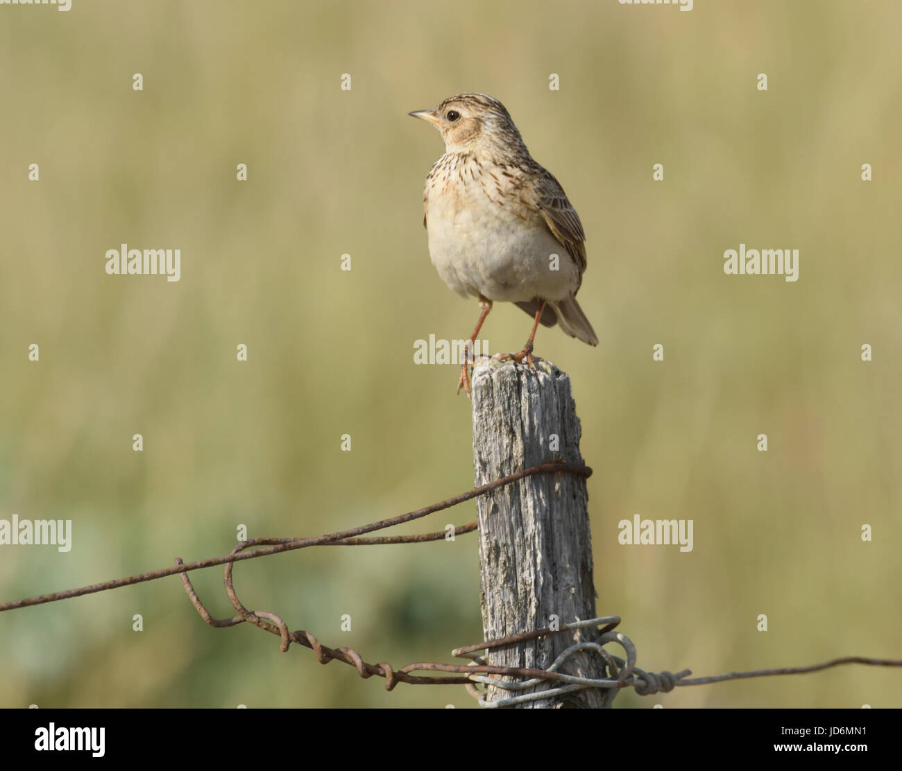 A skylark (Alauda arvensis) stands on an old fence post. Rye Harbour Nature Reserve. Rye, Sussex, England, UK - Stock Image