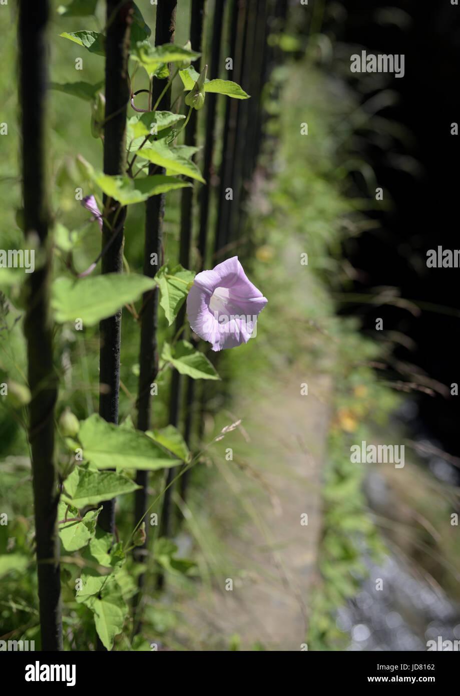 Field bindweed growing around iron railings - Stock Image