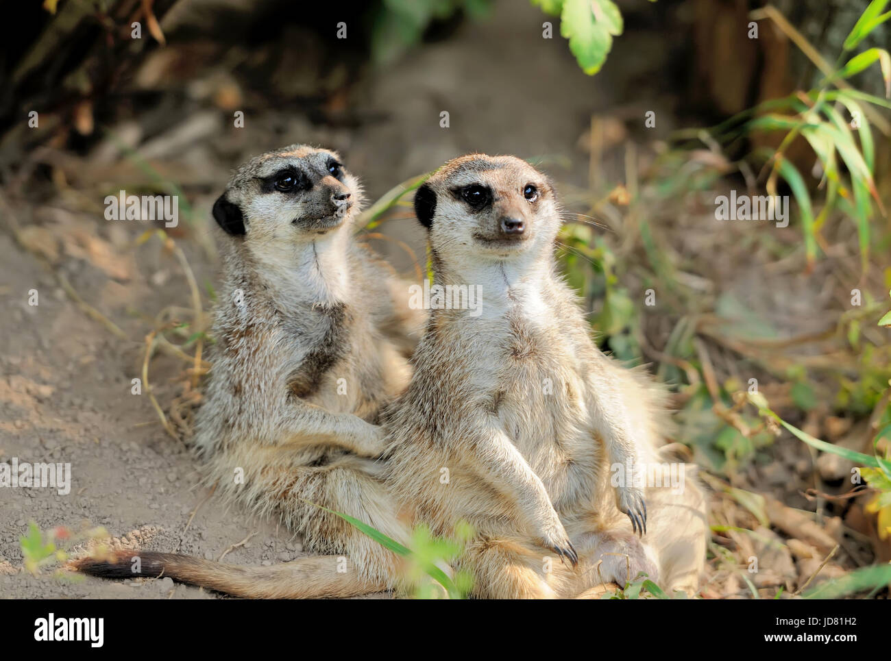 Two young meerkat looking alert - Stock Image