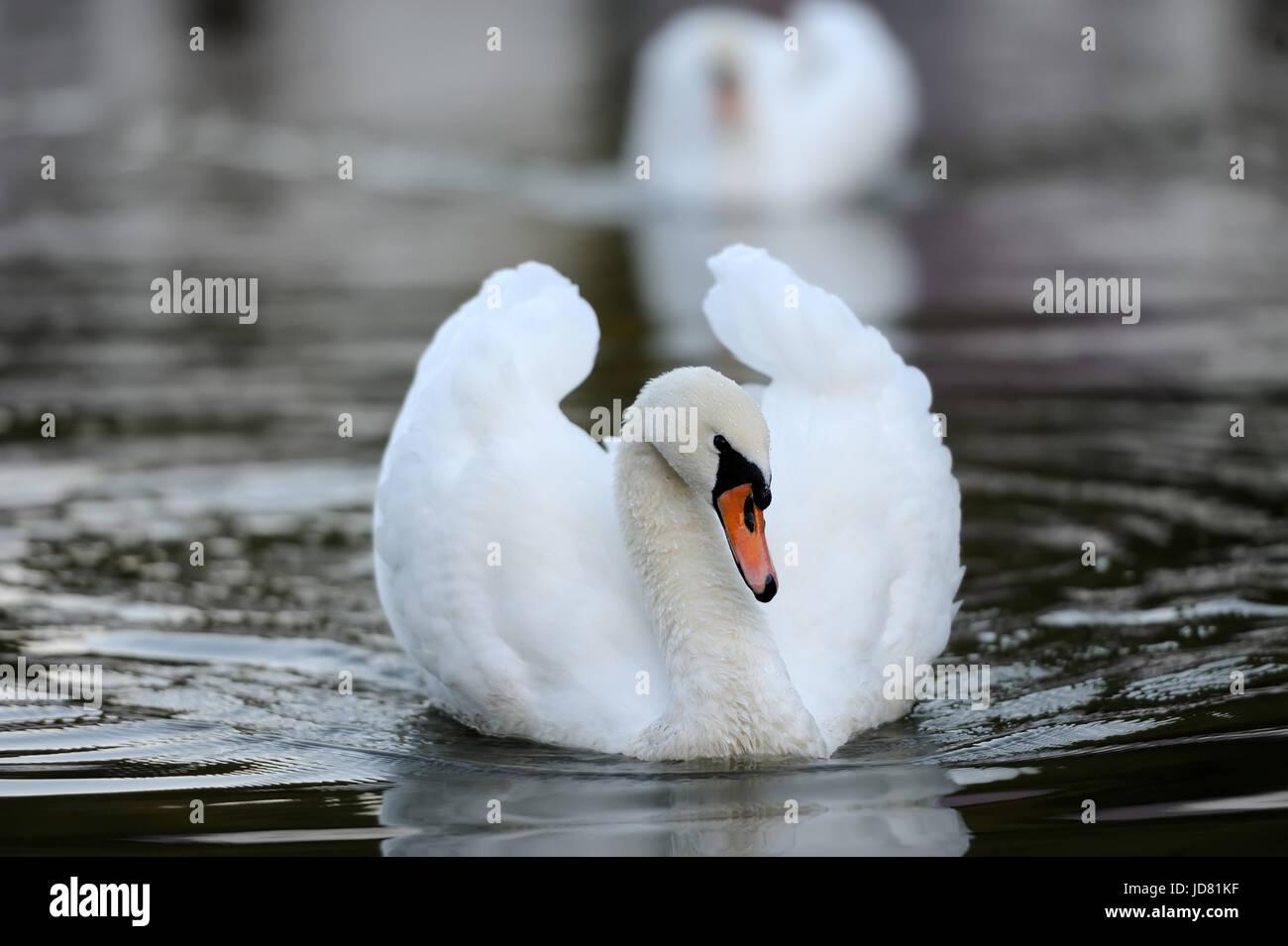 Close beautiful swan swimming in the lake - Stock Image