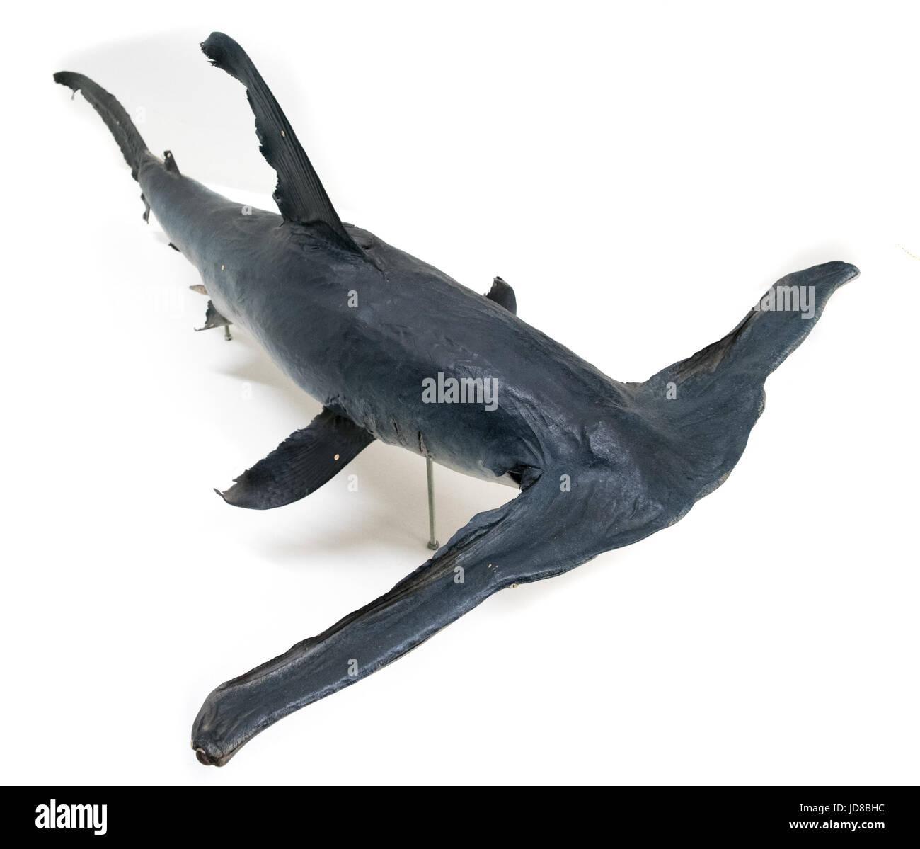 Portrait of a hammerhead shark against a plain white