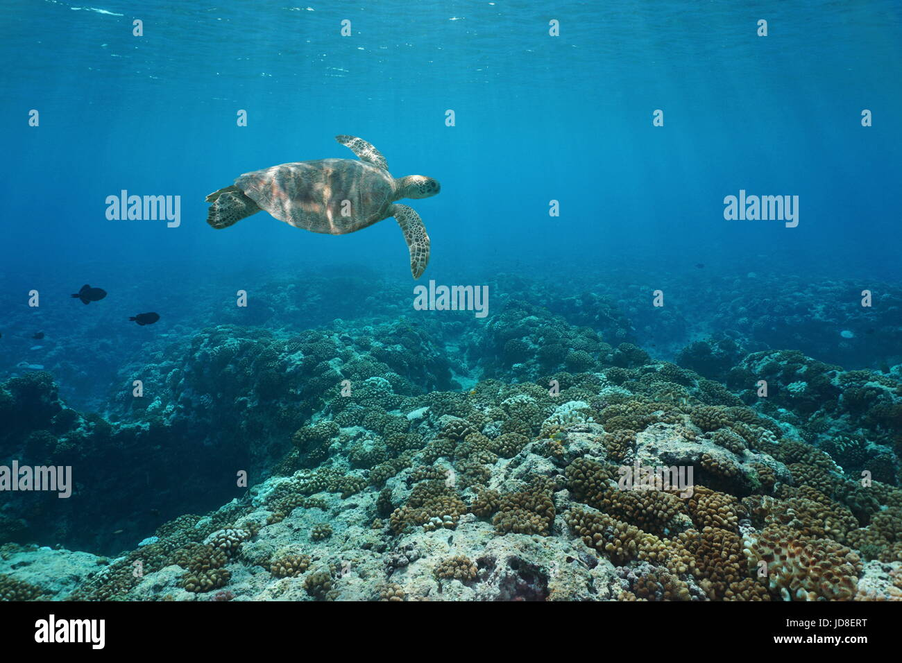 A green sea turtle underwater swims over a coral reef, Pacific ocean outer reef of Huahine island, French Polynesia - Stock Image