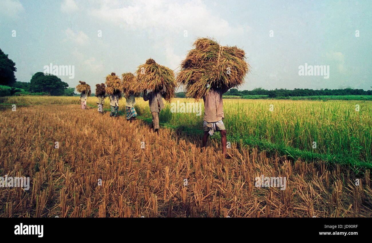 the paddy farmers carrying their havesting crops toward the home at gajipur district bangladesh . its the late autumn - Stock Image