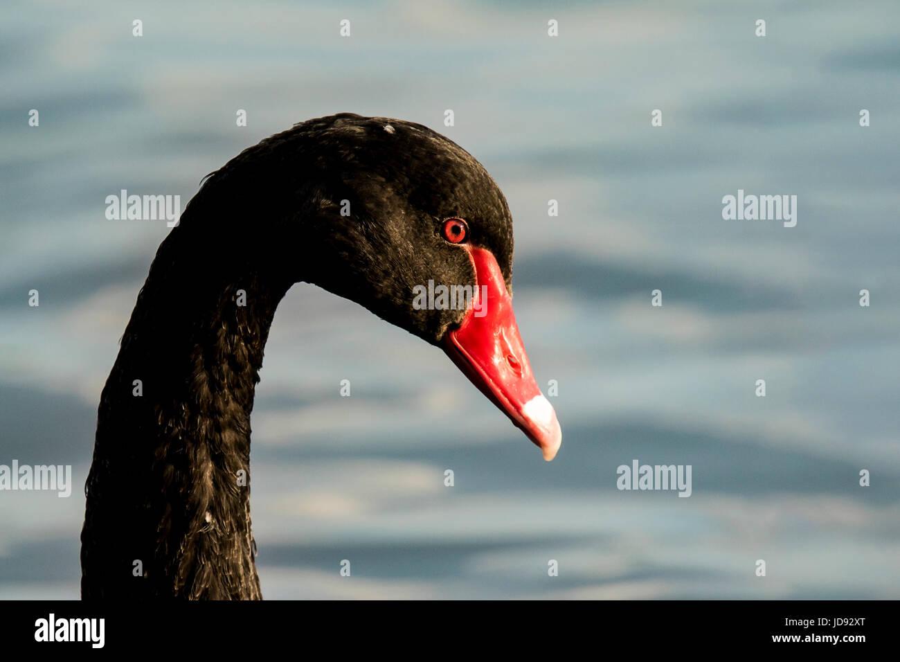 A Portrait of a Black Swan in Co. Dublin - Stock Image