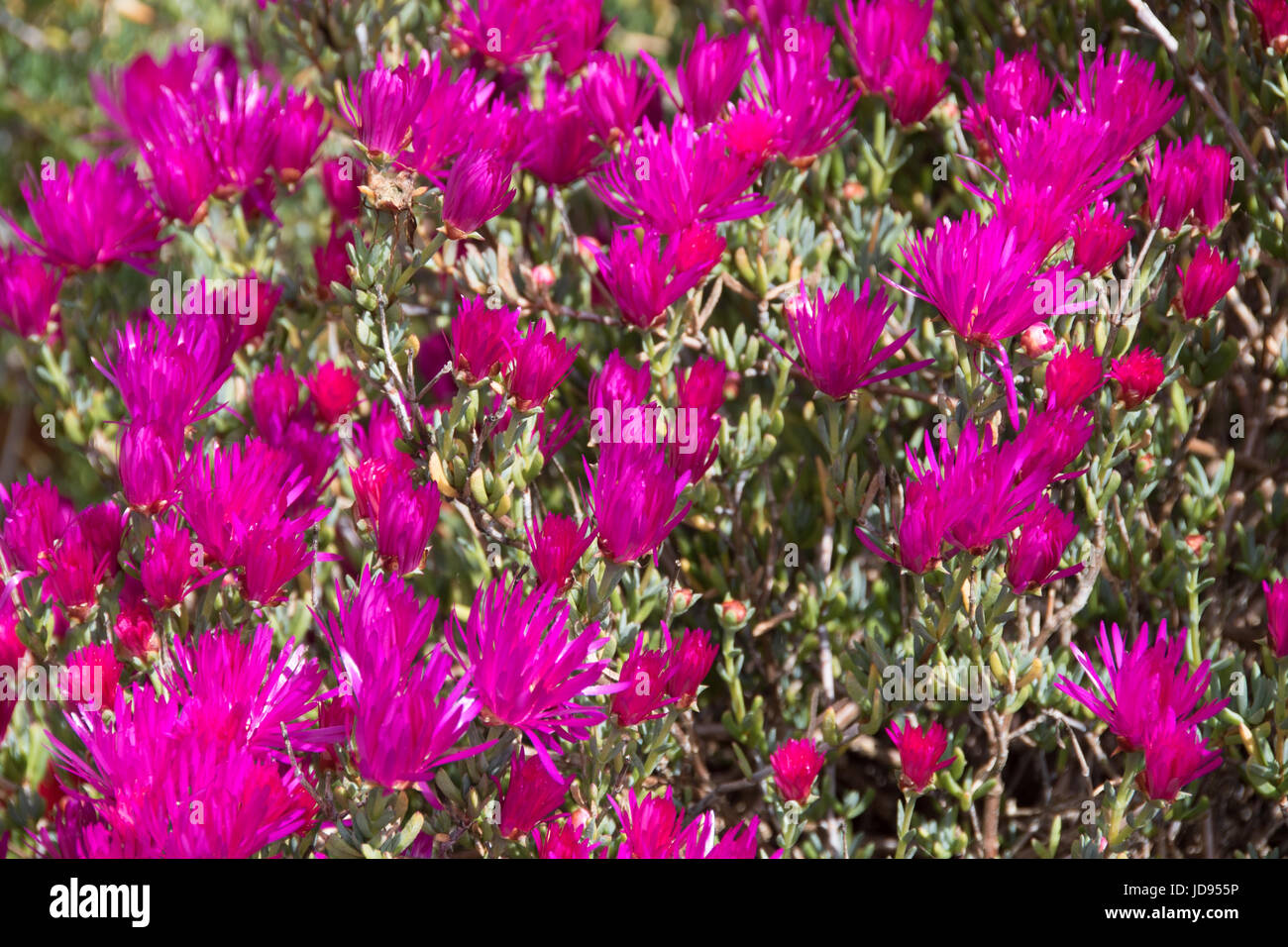 mauve Lampranthus spectabilis - Stock Image