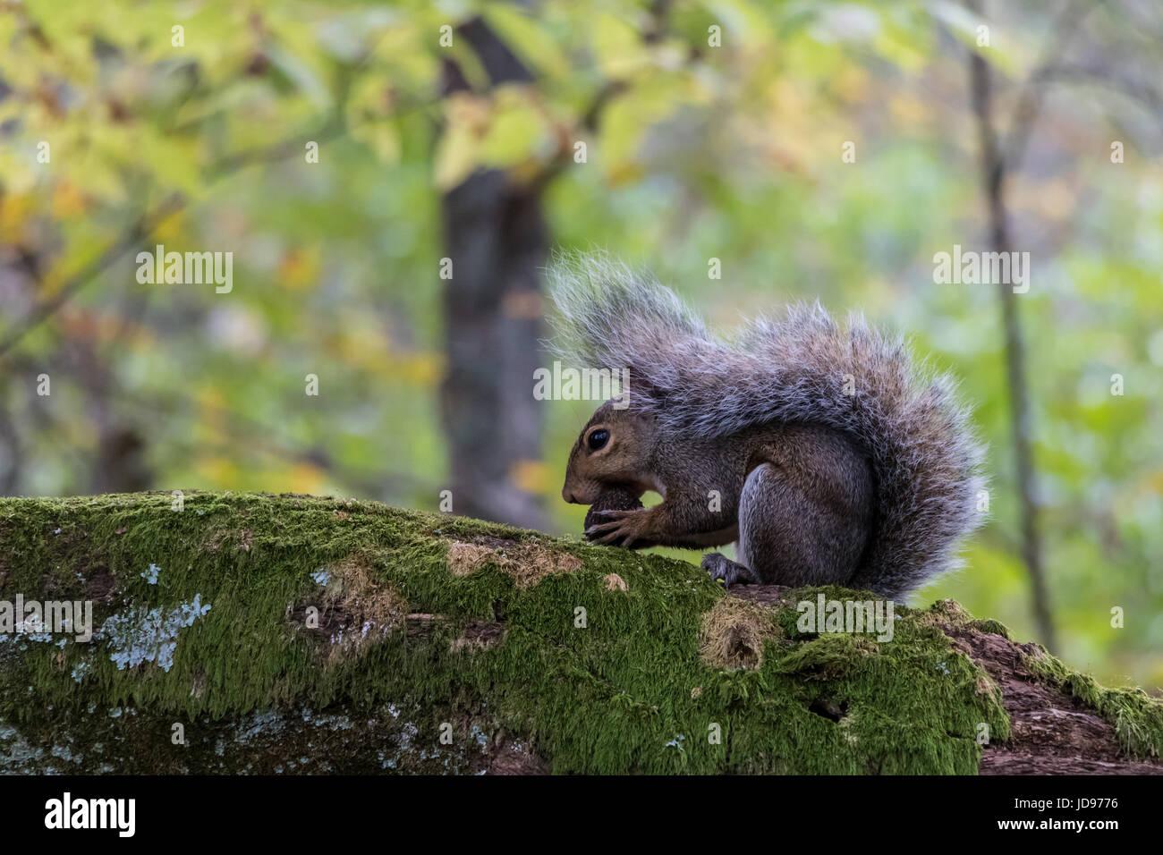 Eastern grey squirrel (Sciurus carolinensis) eating an acorn. - Stock Image