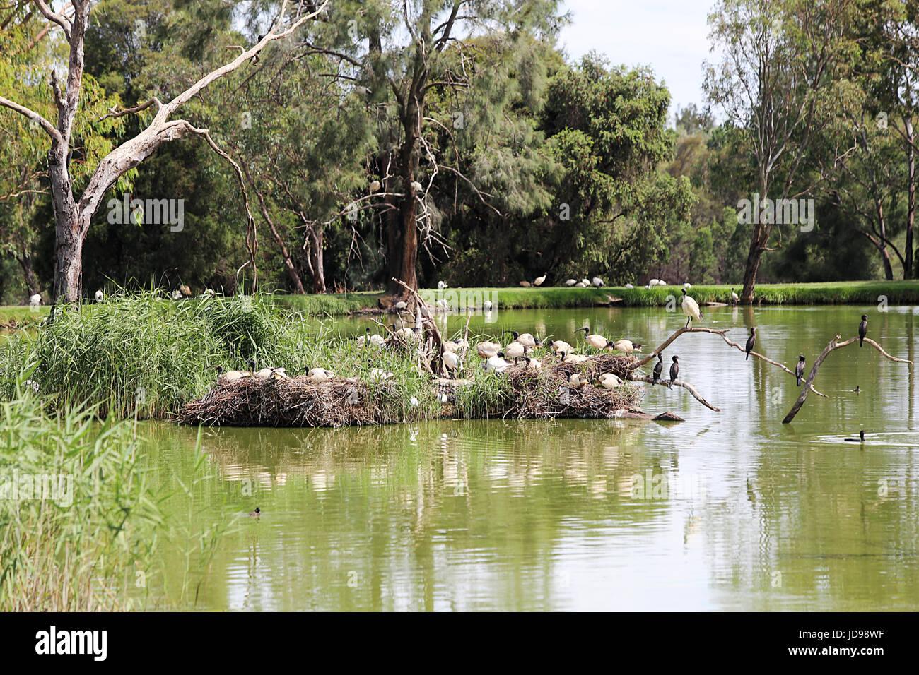 White ibises from Taronga Western Plains Zoo in Dubbo, Australia. Stock Photo