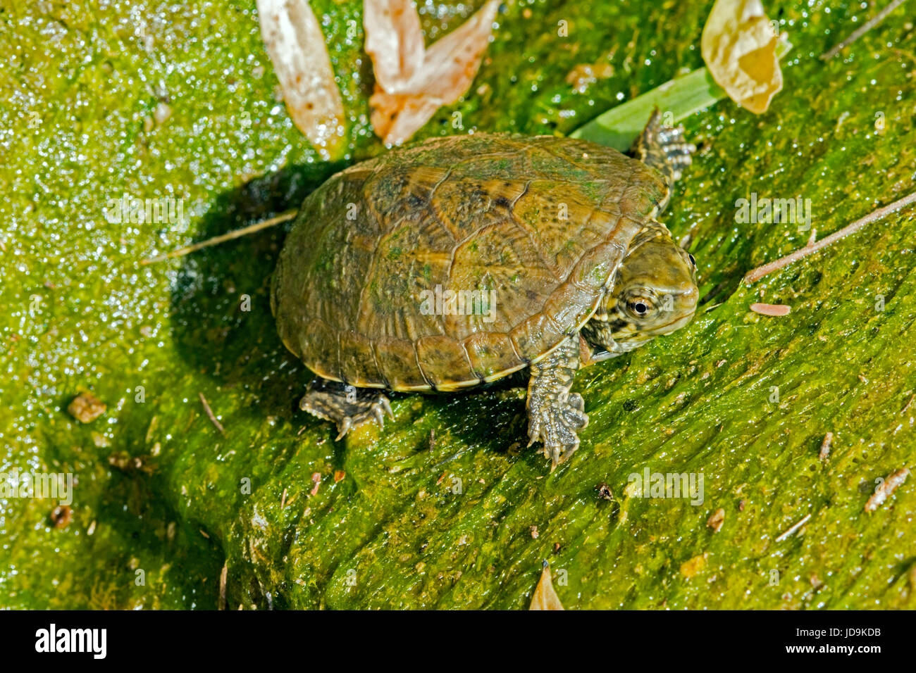 Sonora Mud Turtle  Kinosternon sonoriense  California Gulch, Santa Cruz County, Arizona, United States 6 September - Stock Image