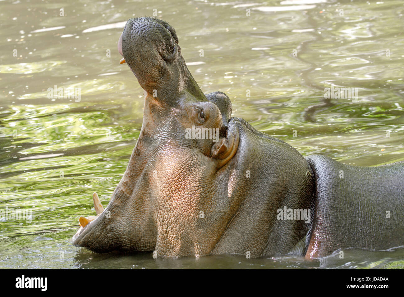 Image of a large animal hippopotamus in the water opened its mouth - Stock Image
