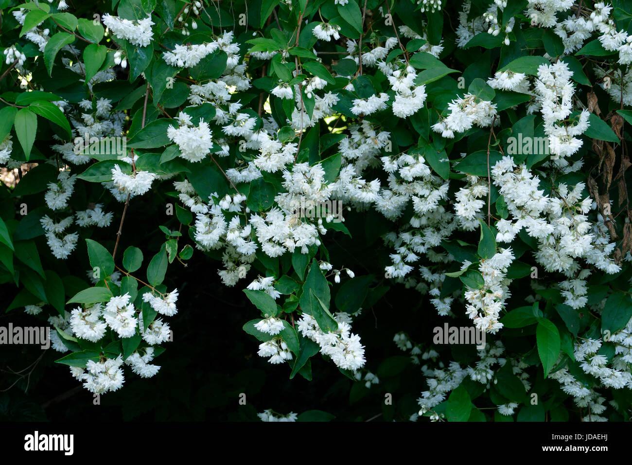 Deutzia scabra Plena in bloom in a garden. Suzanne's vegetable garden; Le Pas; Mayenne; France.; - Stock Image