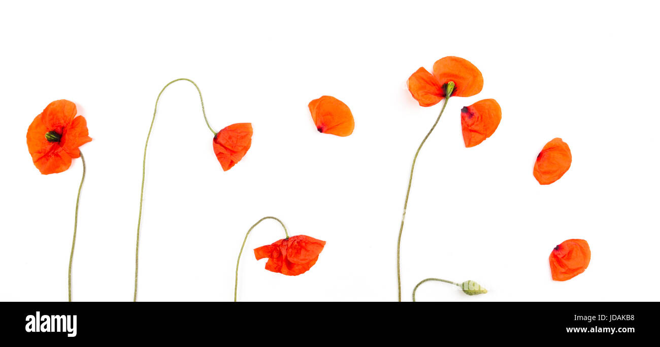 Red field poppies blossoms and petals on white background. Top view - Stock Image