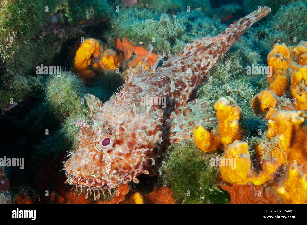 Scorpionfish, Scorpaena scrofa, in Gokova Bay Marine Protected Area Turkey - Stock Image