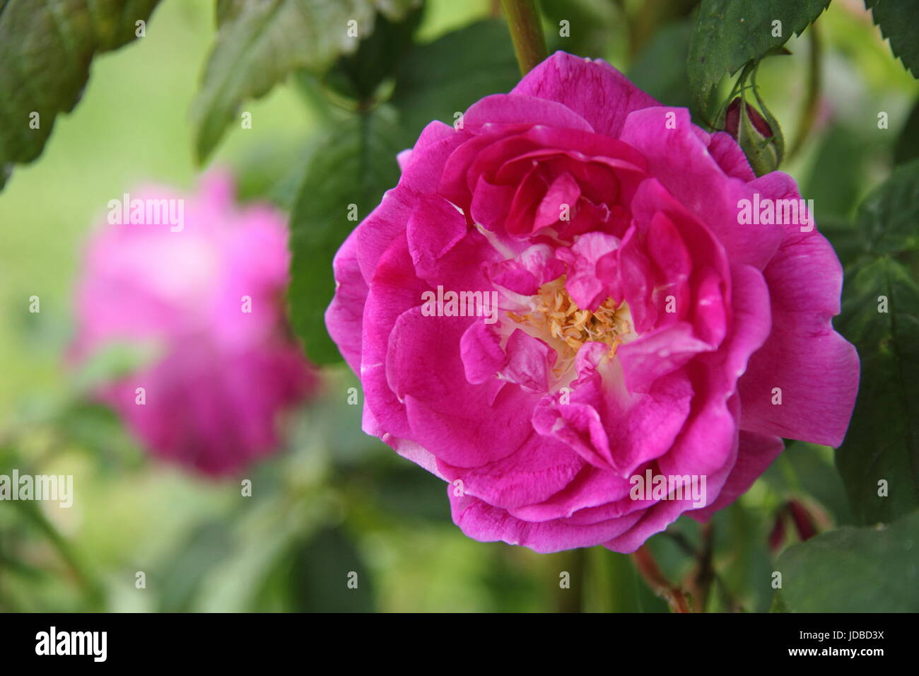 Rosa 'AMADIS', also called 'Crimson Boursault', a thornless, rambling rose, in full bloom in an - Stock Image