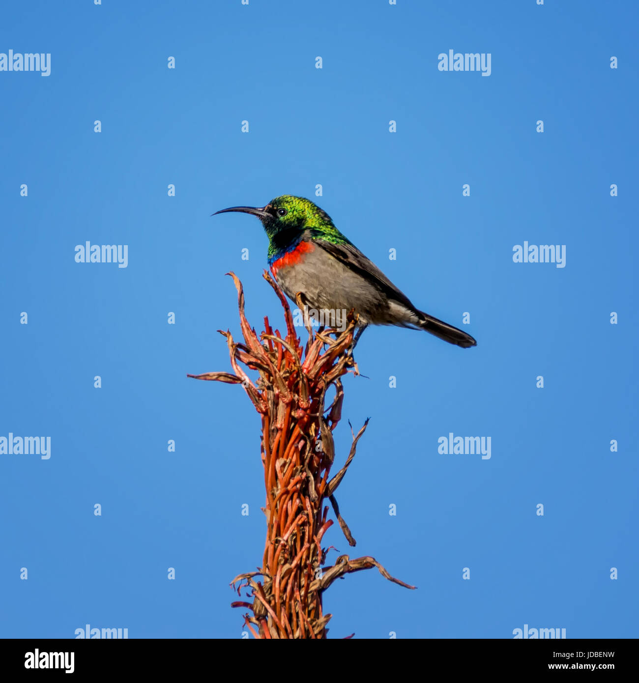 A Double-collared Sunbird perched on an Aloe plant in Southern Africa - Stock Image