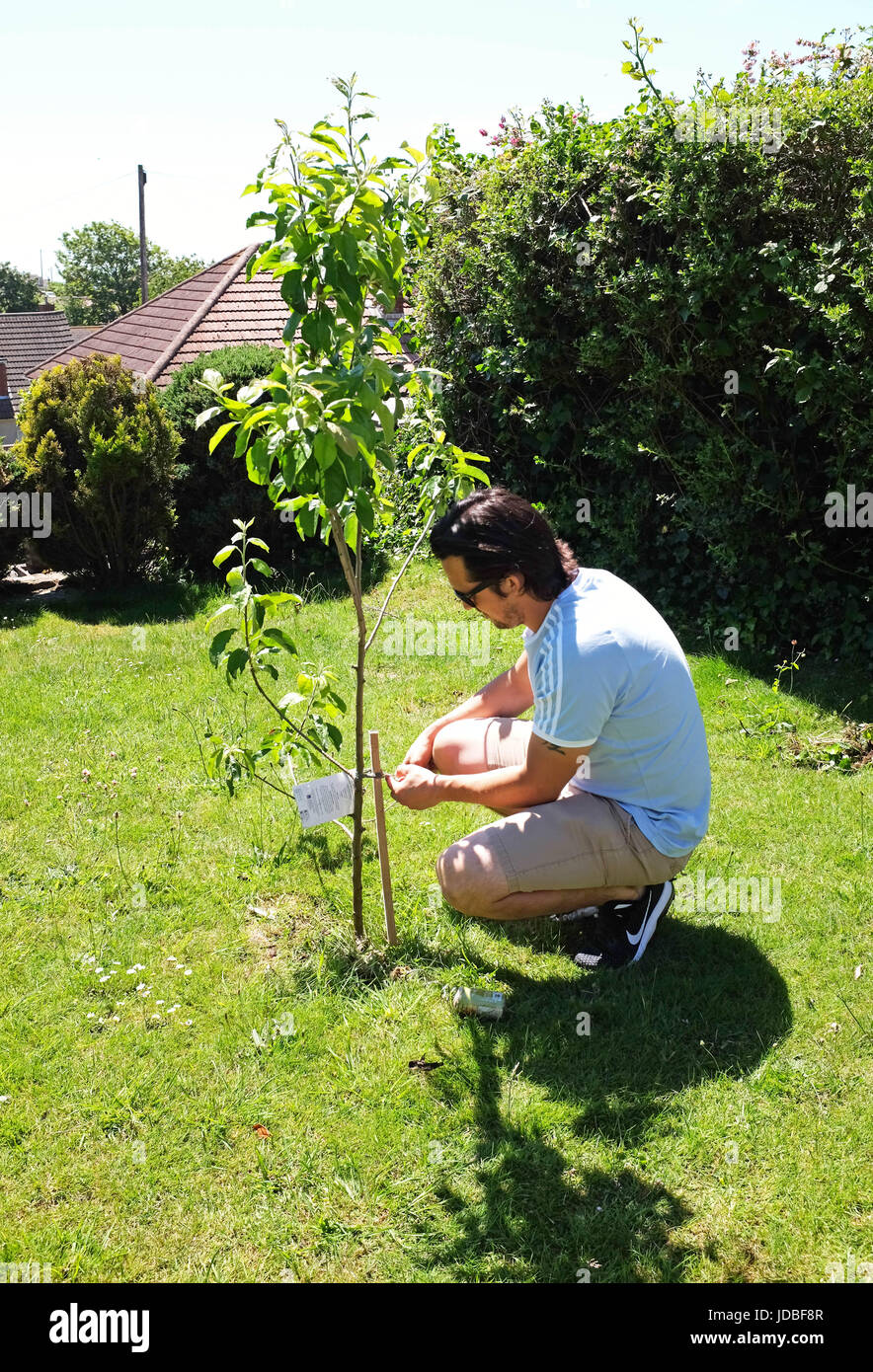 Young man gardening tending to a young apple tree - Stock Image