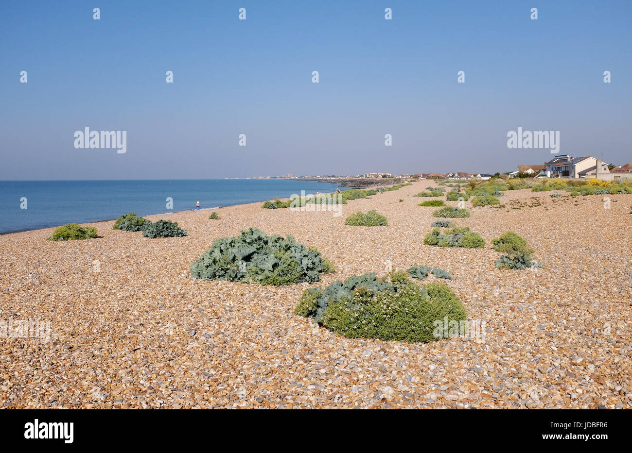 Shoreham Beach Sussex UK - Shingle beach with flora and forna growing on  Photograph taken by Simon Dack - Stock Image