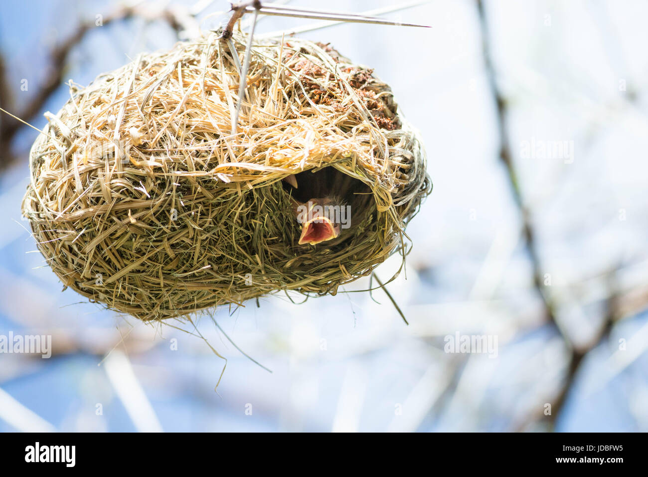 Weaver bird chicks looking out of the dry grass nest beaks open for food, Southern African - Stock Image