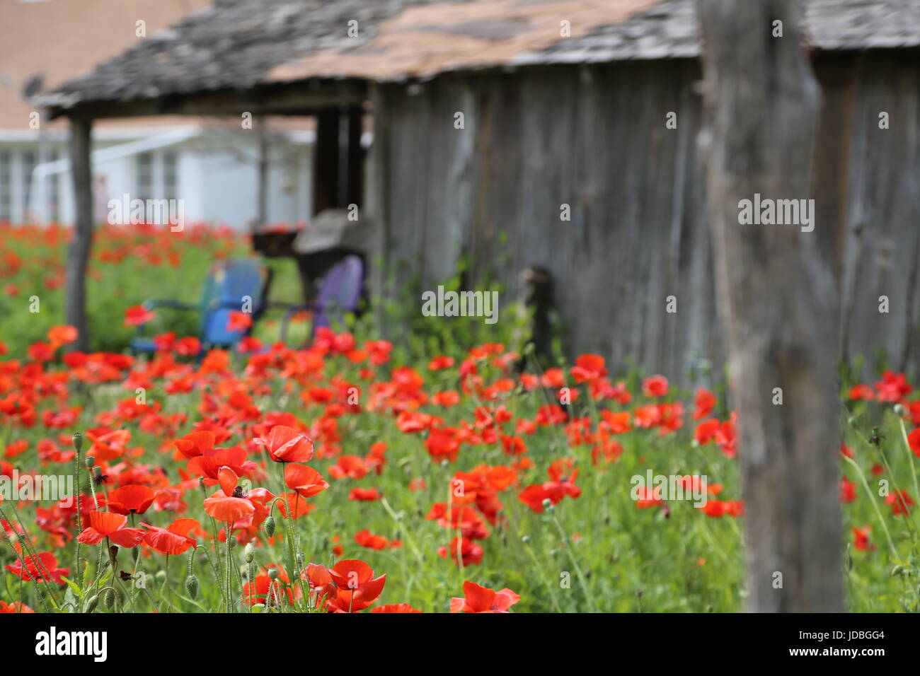 Red Poppies in the Front Yard - Stock Image