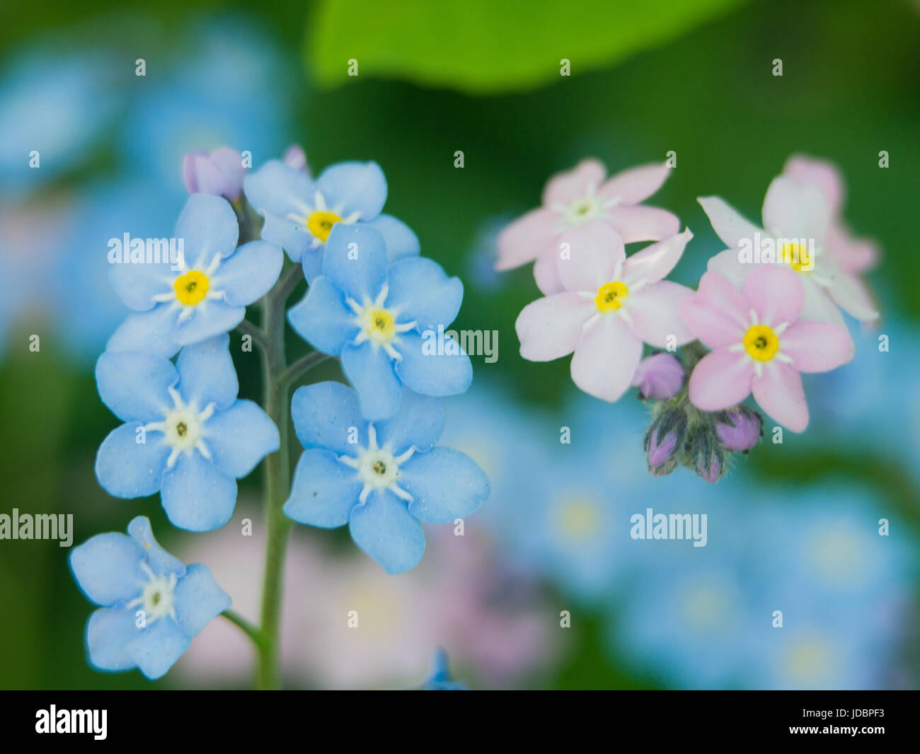 Flowers forget me nots blue and pink as a concept of boy and girl flowers forget me nots blue and pink as a concept of boy and girl attitude of the sexes of love and harmonious relations in the family mightylinksfo