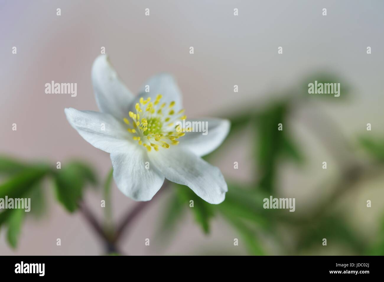 Wood anemone known also as windflower, thimbleweed and smell fox - Stock Image