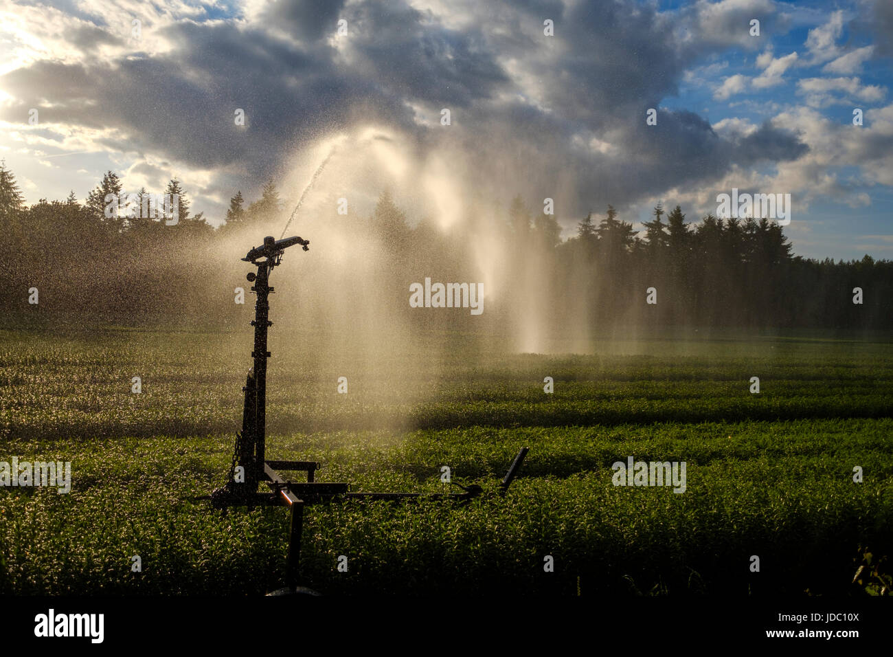 Crop spraying with a water cannon sprinkler ensures a proper distribution of water - Stock Image