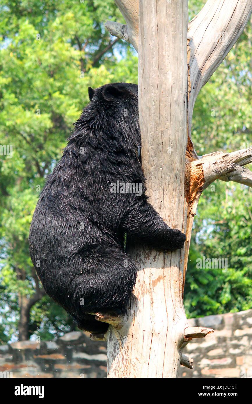 Asian Black Bear or the Himalayan Black Bear (Ursus thibetanus or Selenarctos thibetanus) climbing a tree at National - Stock Image