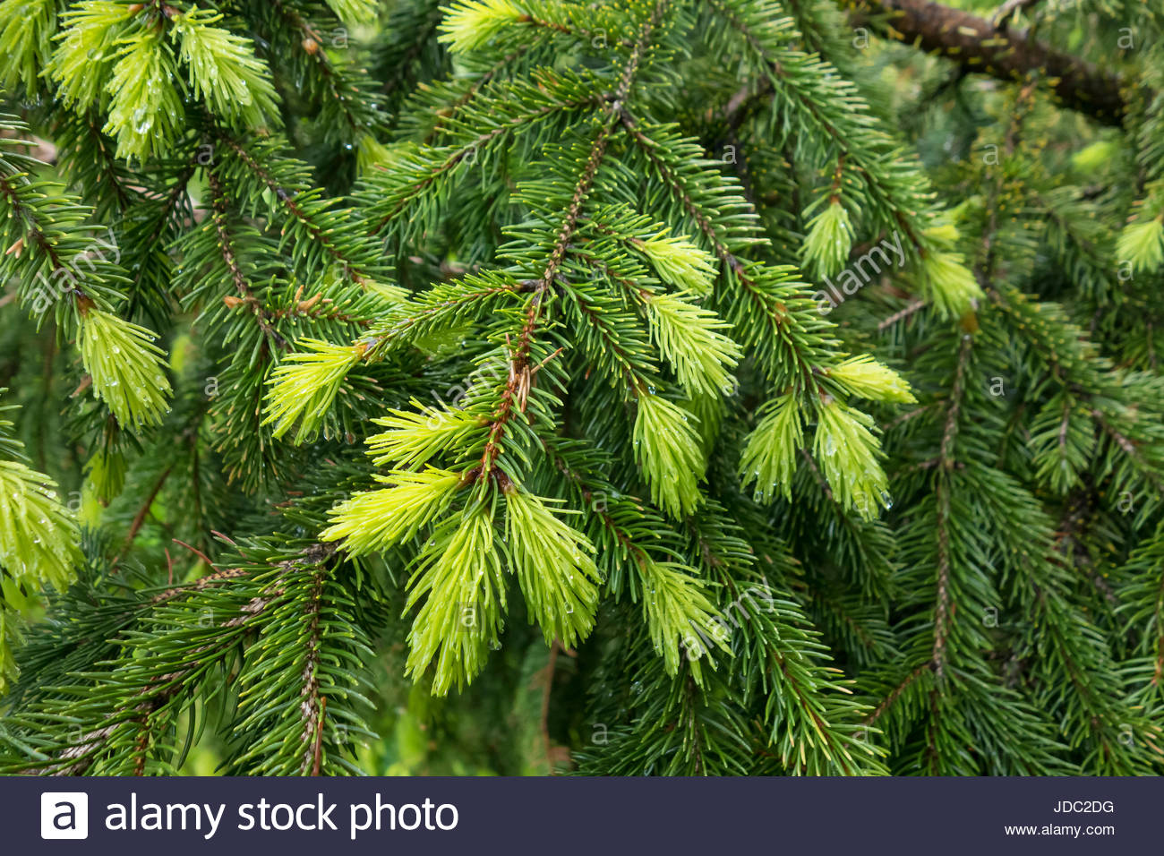 Evergreen fir tree showing this years new growth in light green and older growth retained leaves in dark green. - Stock Image