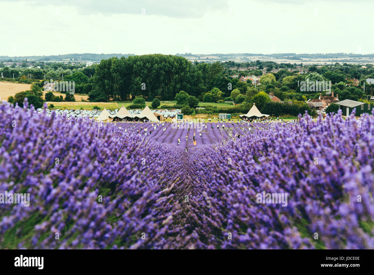 Landscape view of Hitchin lavender farm and and visitor