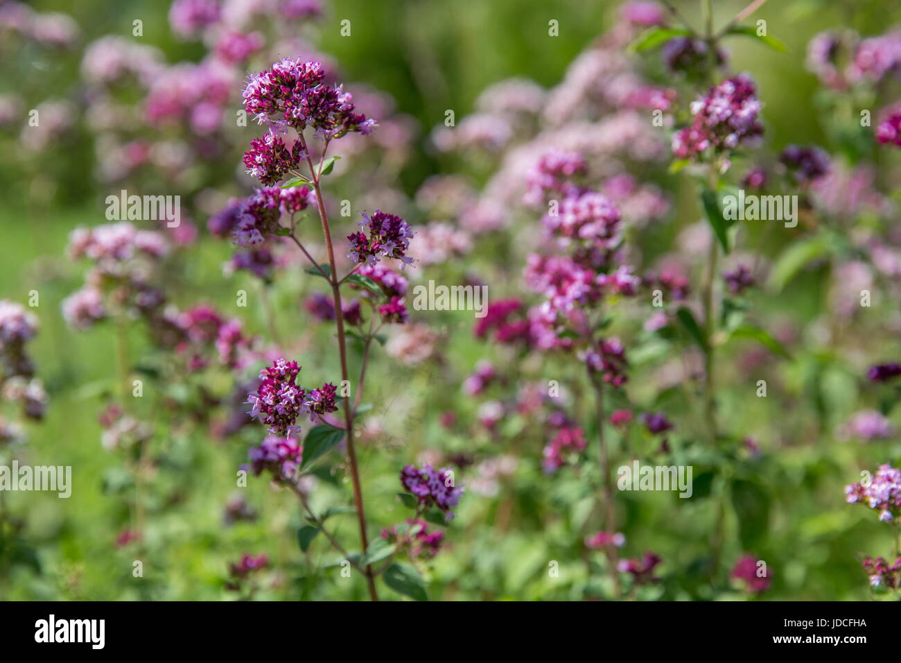 Purple flowers of origanum vulgare or common oregano, wild marjoram. - Stock Image