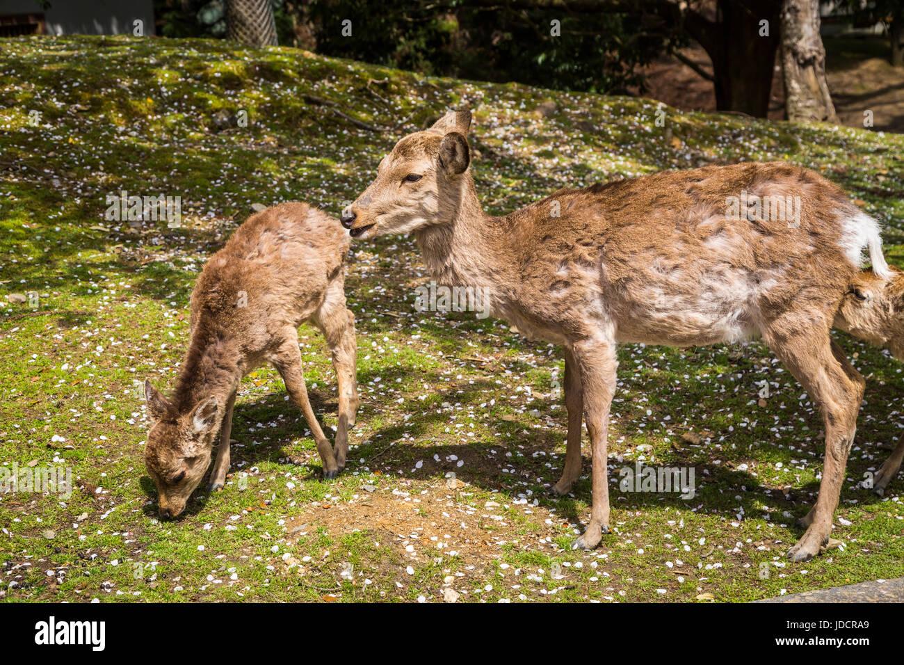 Nara Park deer in Nara Prefecture, Honshu Island, Japan. - Stock Image