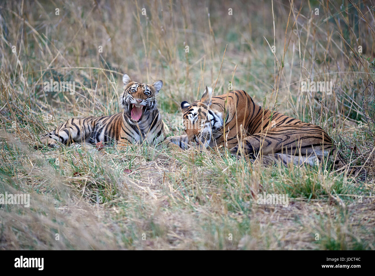 Bengal Tiger/Tigress and  cub licking each other. - Stock Image