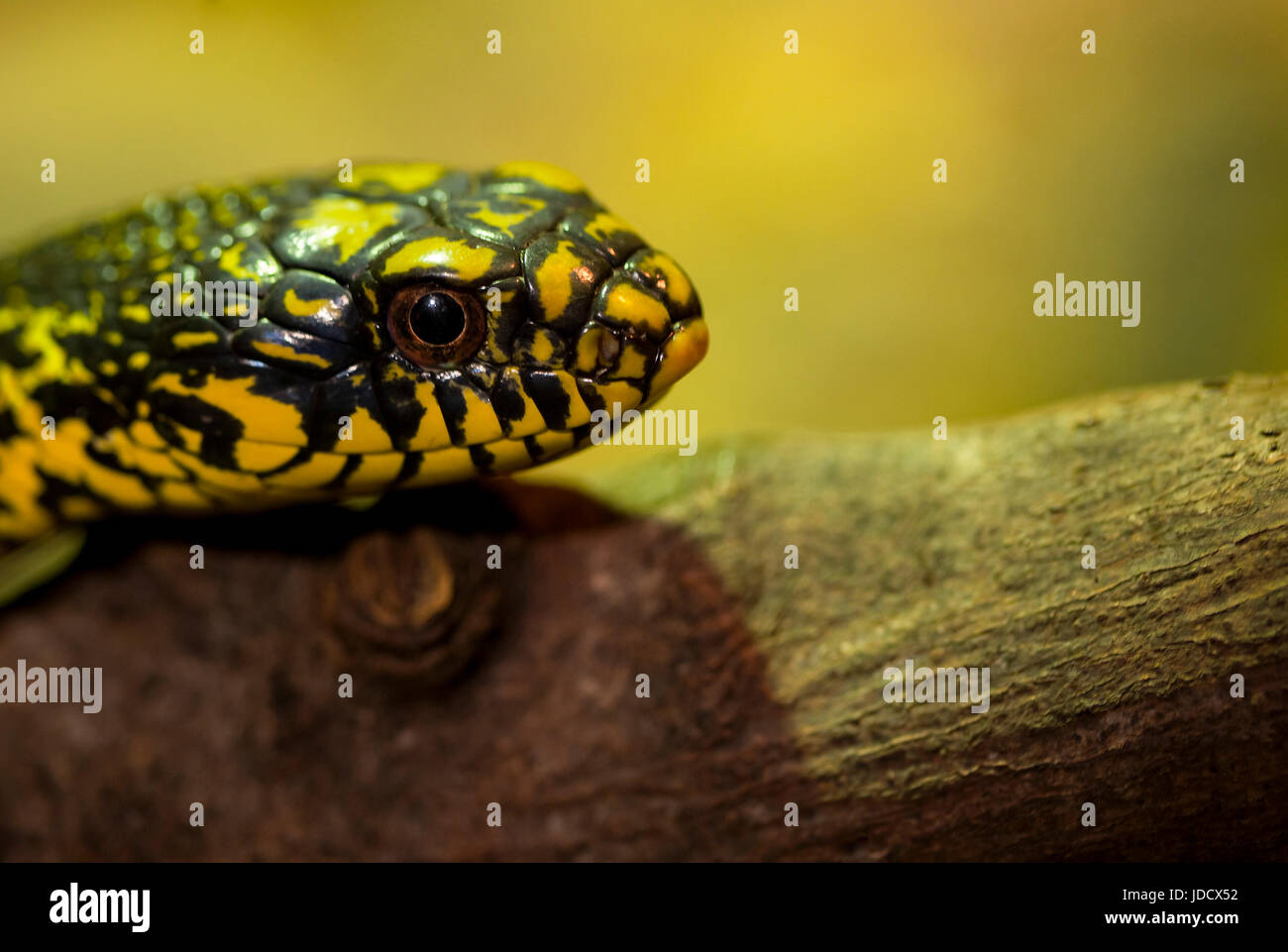 A Head shot of a King Rat Snake - Stock Image