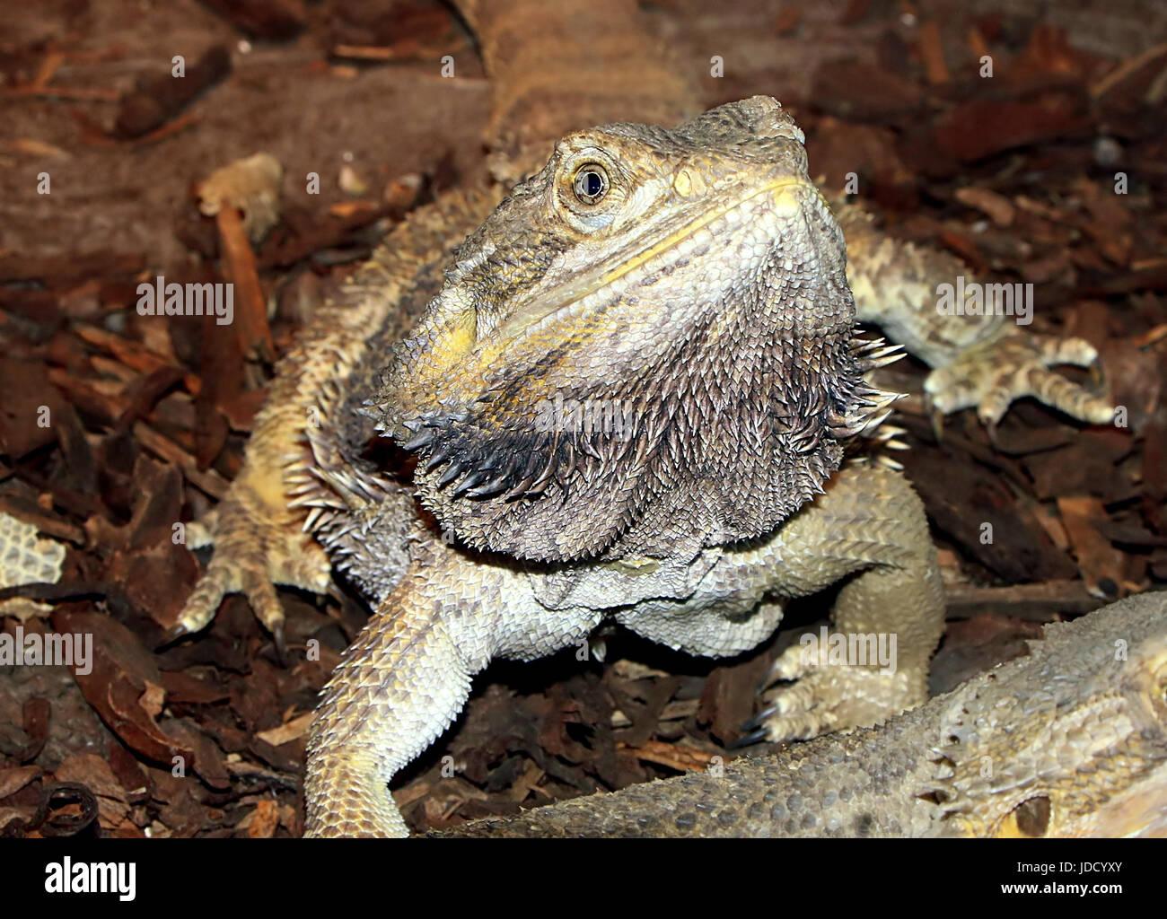 Male Australian Central bearded dragon (Pogona vitticeps). - Stock Image
