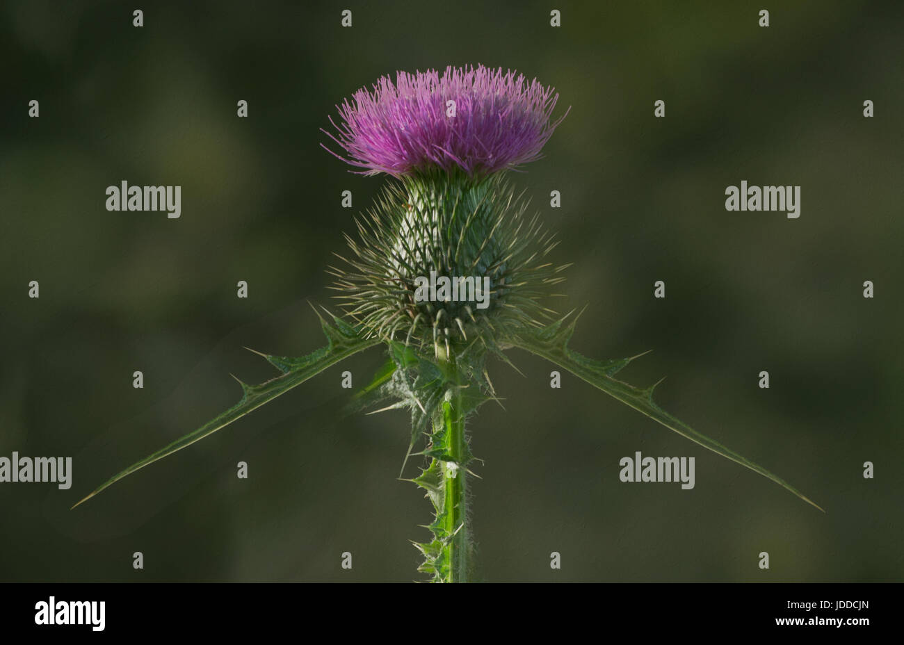Bull Thistle straight on view - symmetry - Stock Image