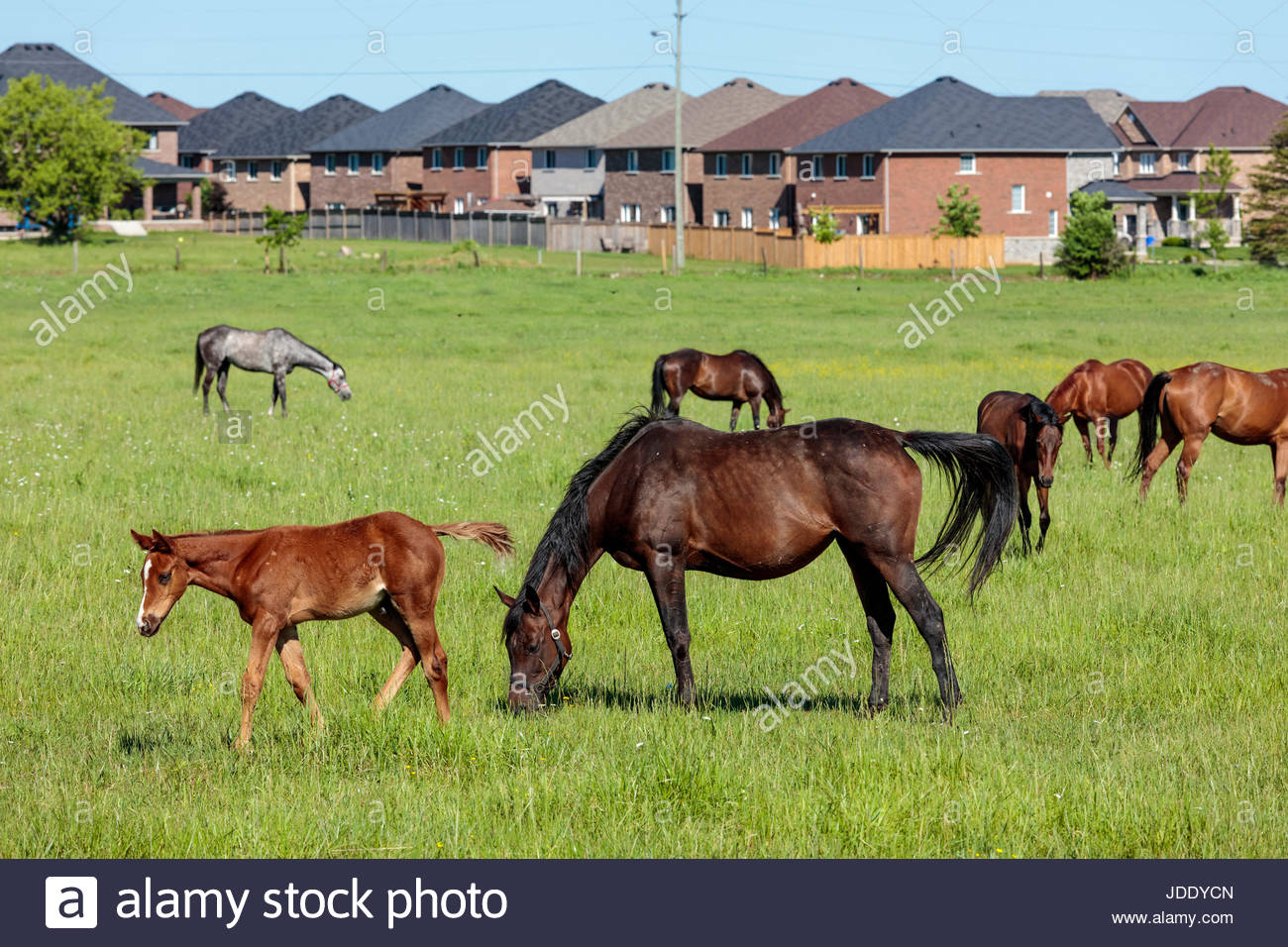 New suburban housing taking over farmland in York Region near Toronto Ontario Canada horse horses urban sprawl house - Stock Image