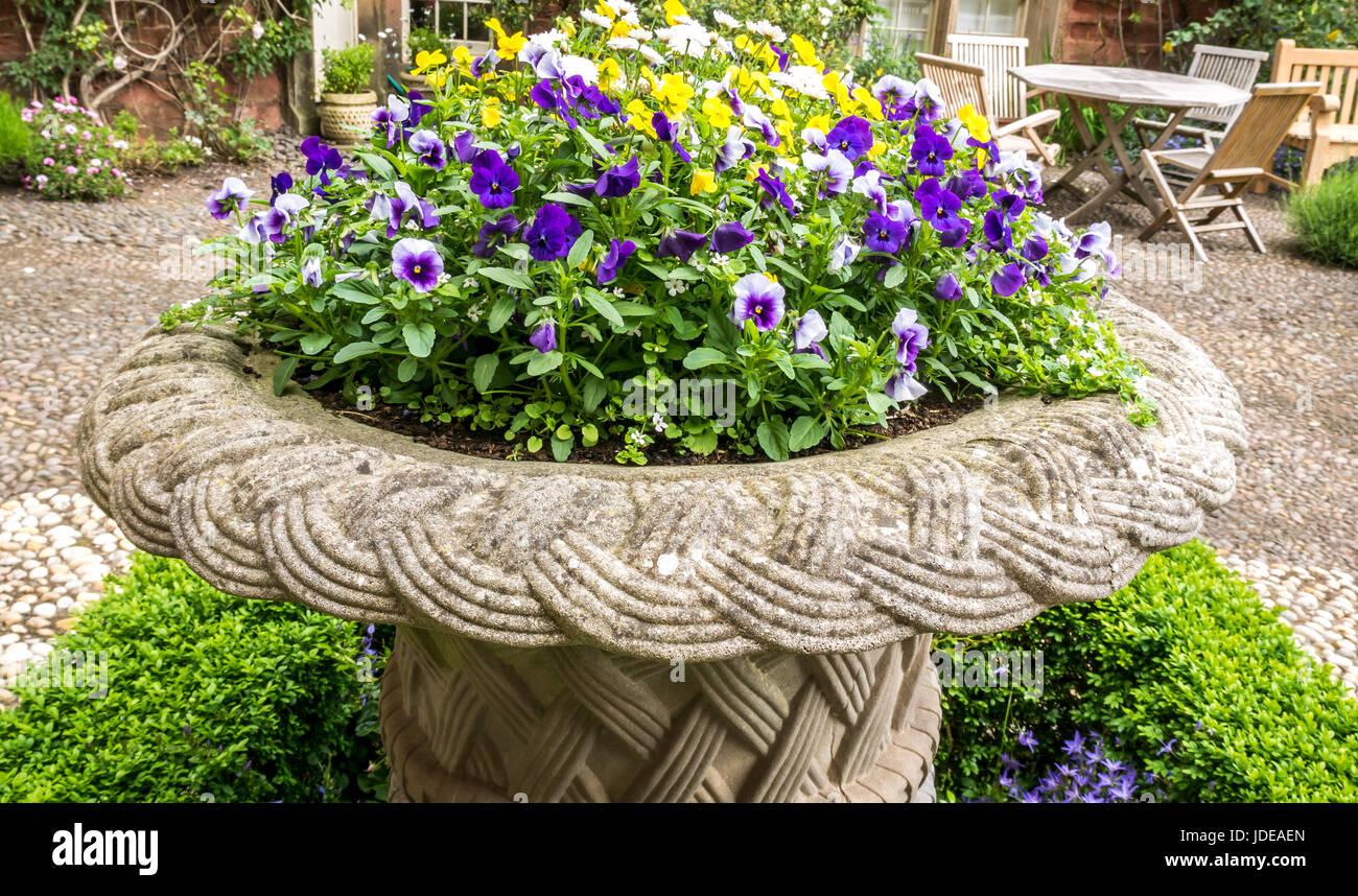 Purple pansies in stone flowerpot in garden, East Lothian, Scotland, UK Stock Photo