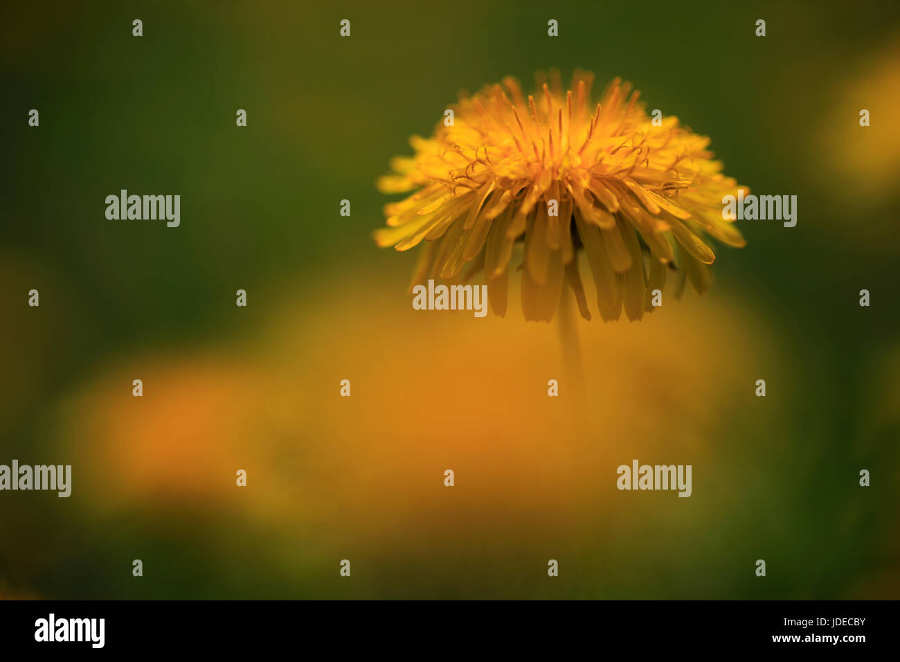 Close up of an orange flower in a green field - Stock Image