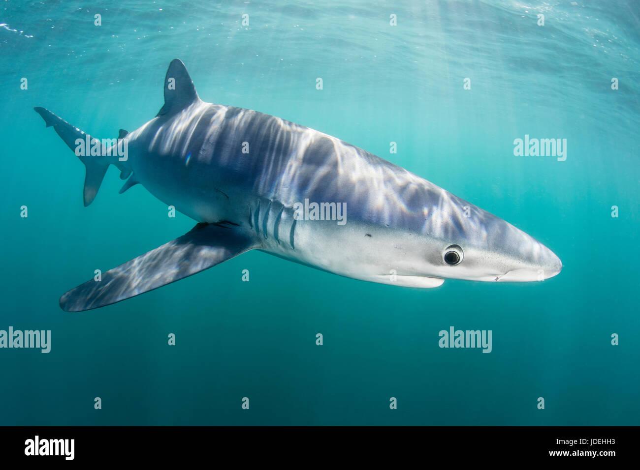 Blue Shark, Prionace glauca, Massachusetts, Cape Cod, USA Stock Photo