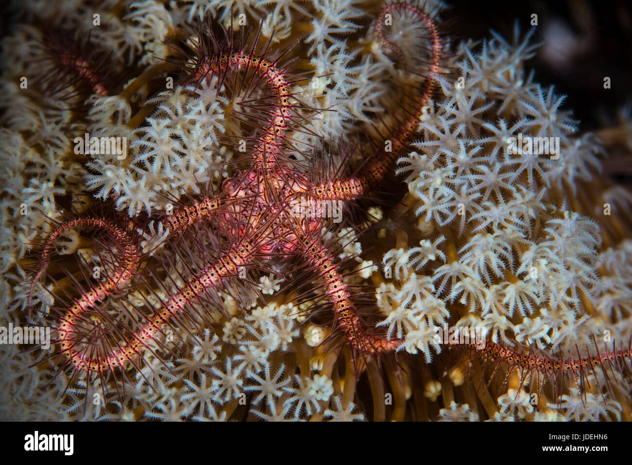 Brittle Starfish, Ophiotrix, Komodo National Park, Indonesia - Stock Image