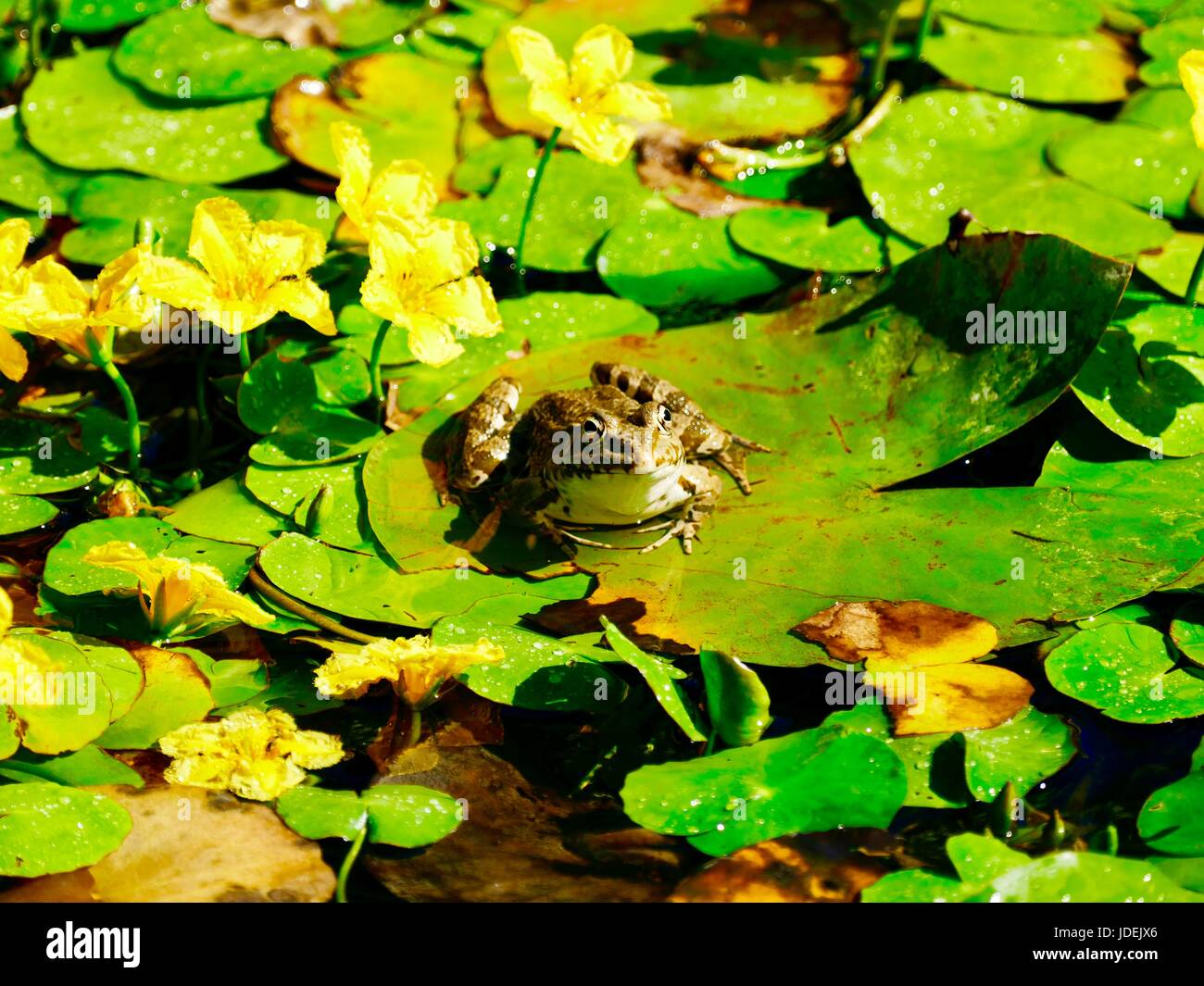 European edible frog resting on a lily pad in path of overhead sprinkler. Paris, France - Stock Image