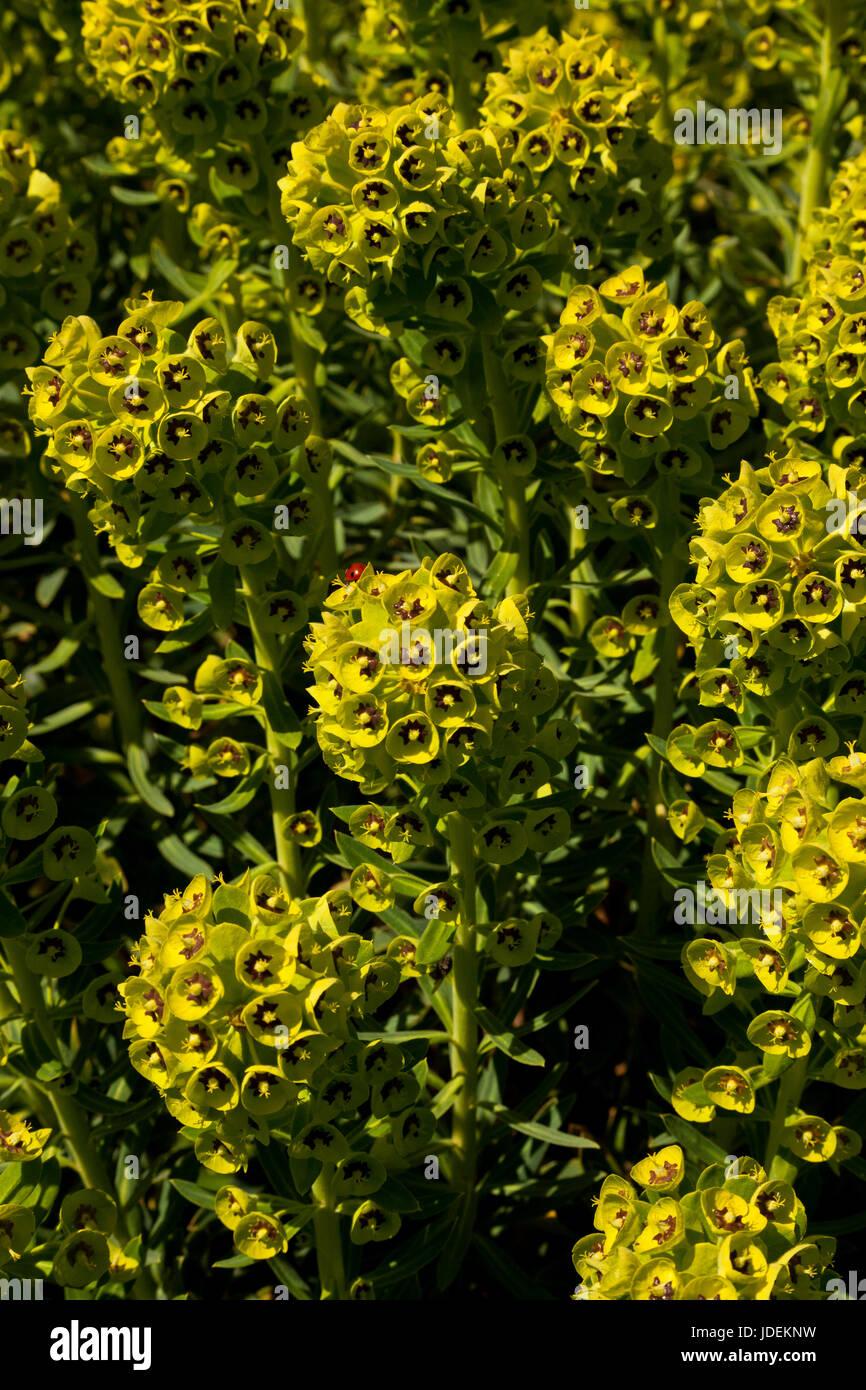 Euphorbia plants - Stock Image