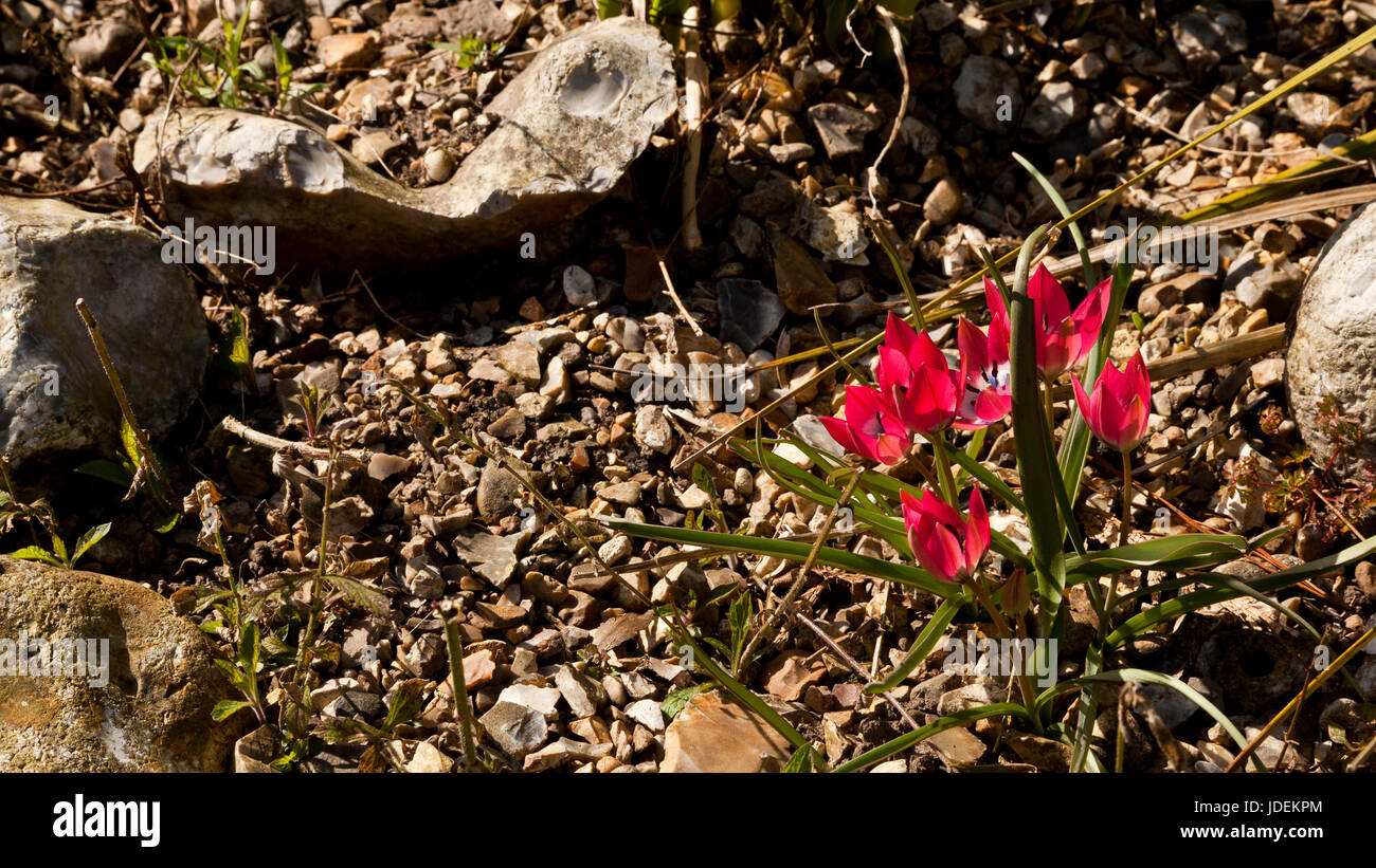 Delicate Cerise Pink flowers of a plant surviving in a harsh arid environment - Stock Image